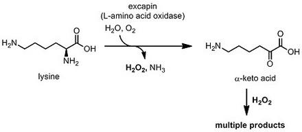 アメフラシ リシン酸化.jpg