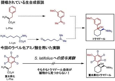 tramadol returns returns 1 生合成実証.jpg